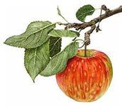 Я за яблоком тянусь (Дарья Санчез) / Стихи.ру - национальный сервер современной поэзии
