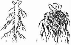 От чего зависит вид корня? а Стержневой корень