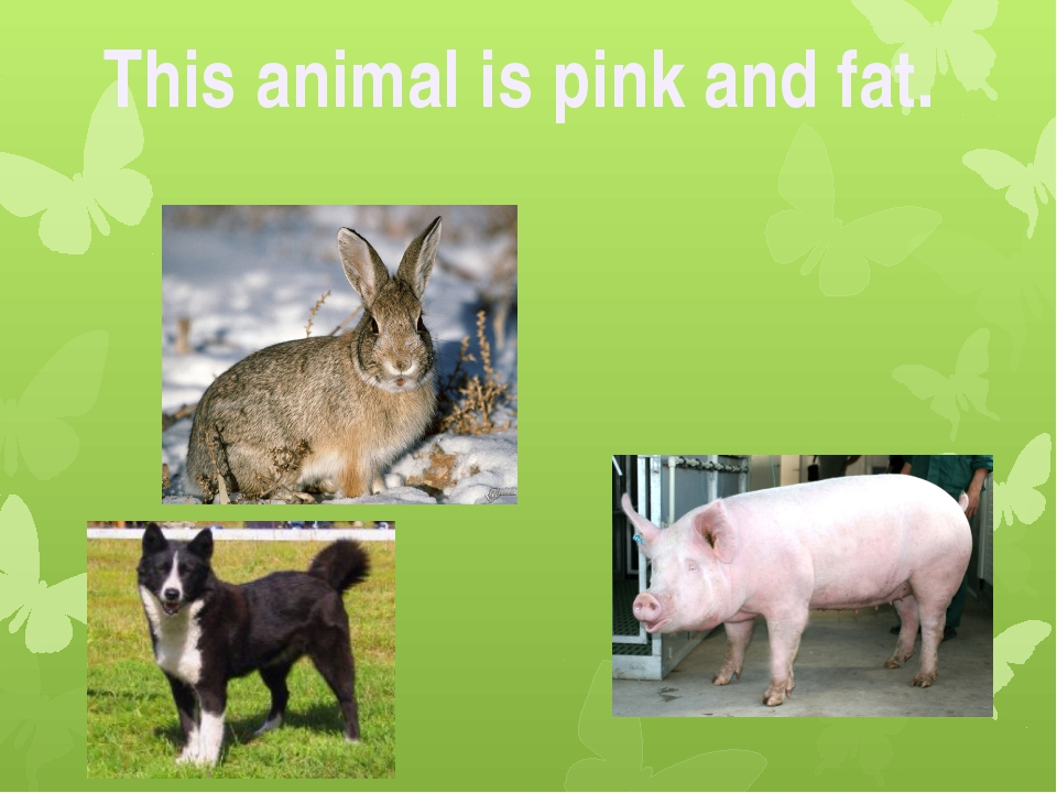 This animal is pink and fat.