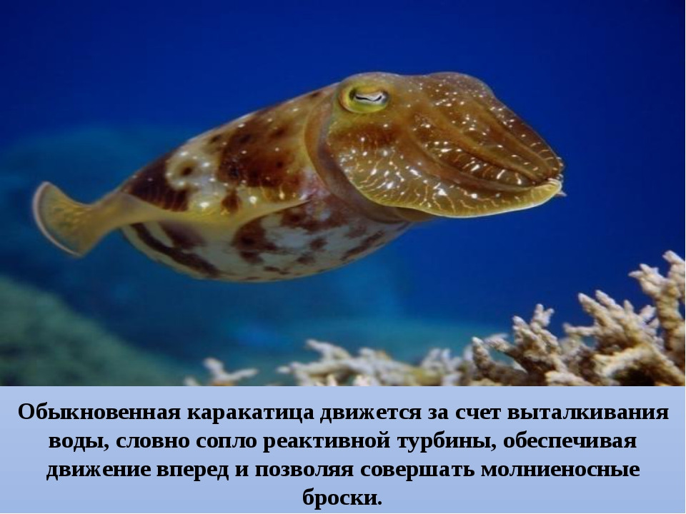 Обыкновенная каракатица движется за счет выталкивания воды, словно сопло реа...