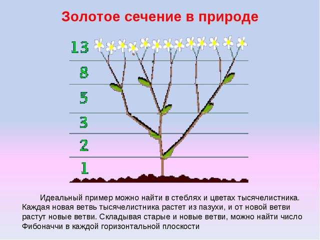 Золотое сечение в природе Идеальный пример можно найти в стеблях и цветах тыс...