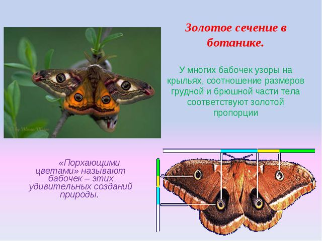 Золотое сечение в ботанике. У многих бабочек узоры на крыльях, соотношение ра...