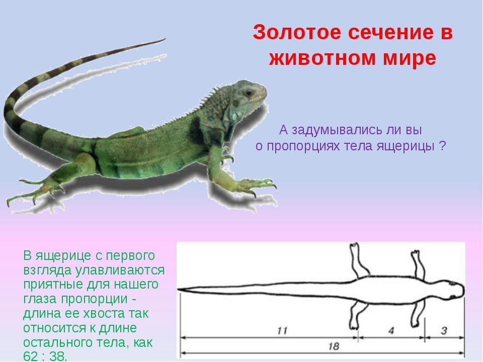 Золотое сечение в животном мире А задумывались ли вы о пропорциях тела ящериц...