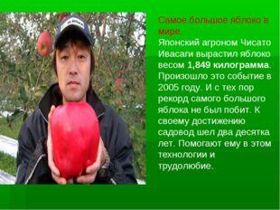 Самое большое яблоко в мире. Японский агроном Чисато Ивасаги вырастил яблоко