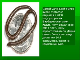 Самой маленькой в мире змеёй считается открытая в 2008 годуузкоротая Барбадо