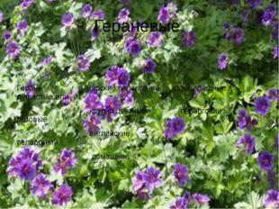 Гераневые. Герань царские пеларгонии плющевидные душистые или крупно цветные