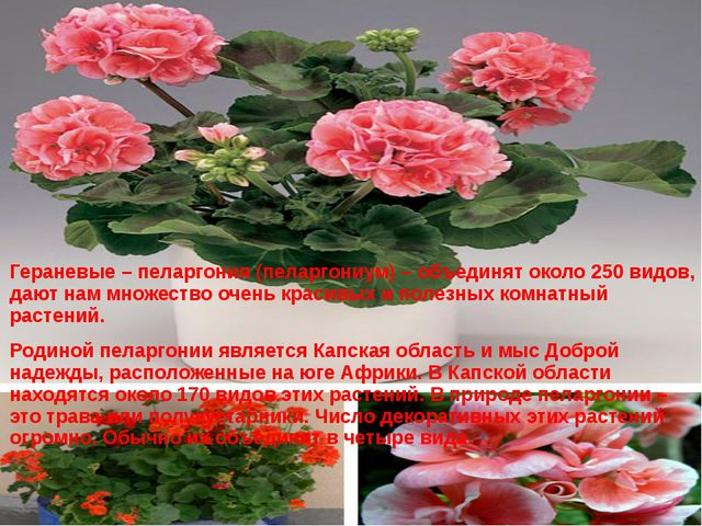 Гераневые – пеларгония (пеларгониум) – объединят около 250 видов, дают нам м...