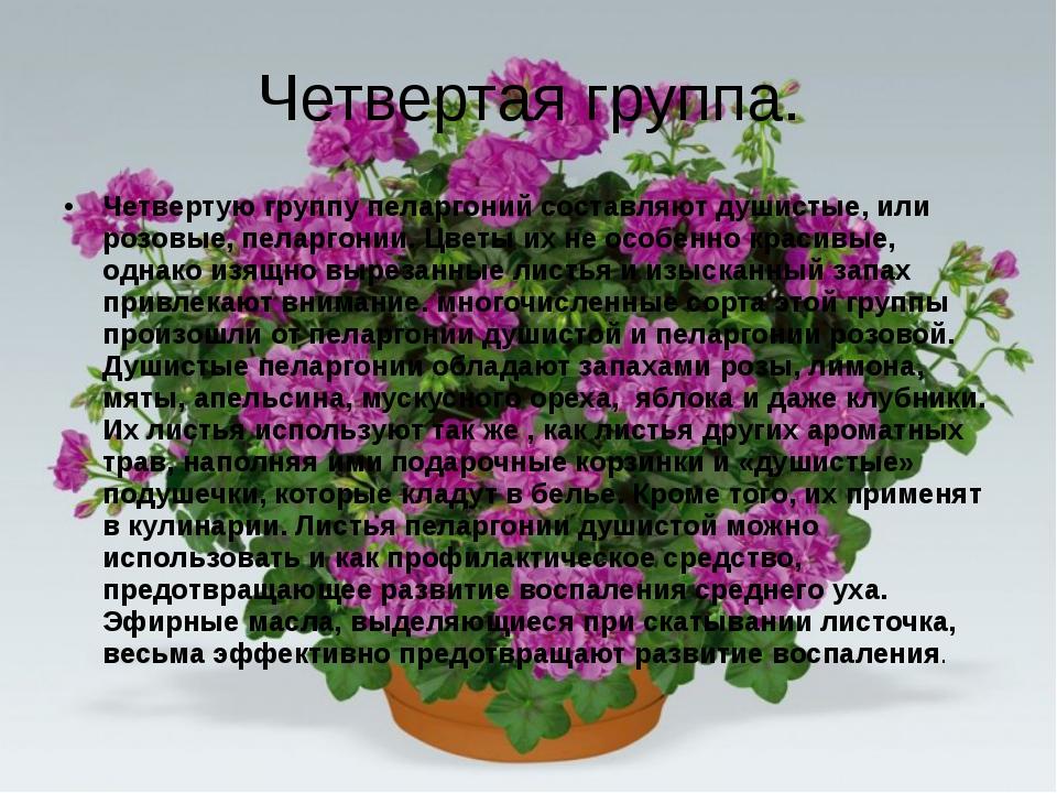 Четвертая группа. Четвертую группу пеларгоний составляют душистые, или розовы...