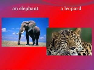 an elephant a leopard