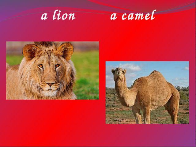 a lion a camel