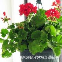 http://www.rasteniya-lecarstvennie.ru/uploads/posts/2013-08/1376467937_geran-komnatnaya-poleznye-svoystva.jpg