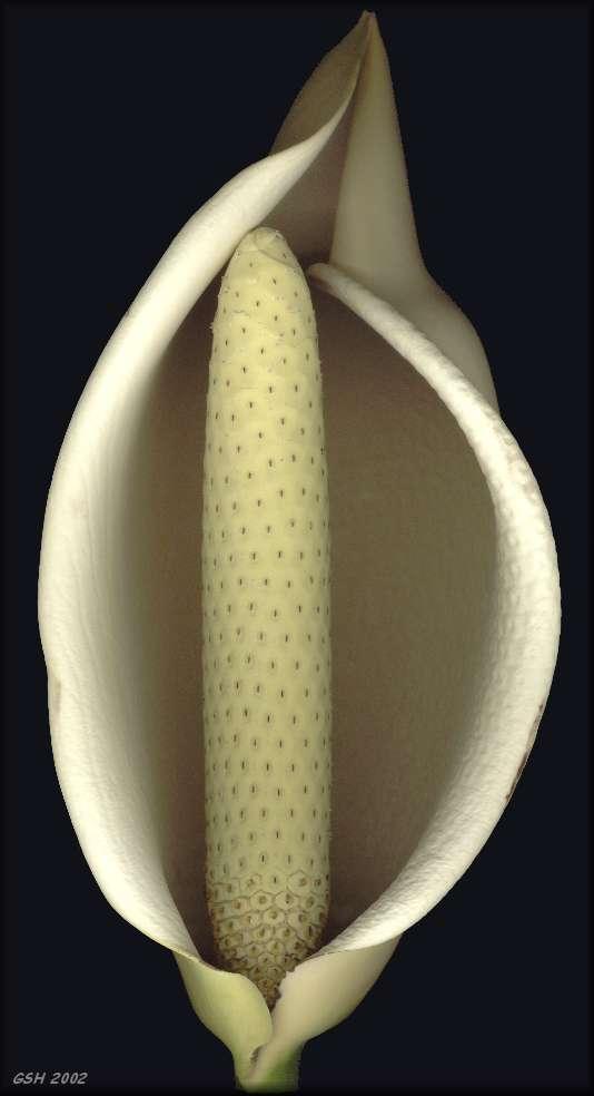 Монстера пробитая (M. pertusa)