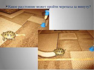 Какое расстояние может пройти черепаха за минуту?