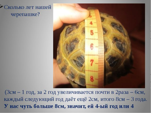 Сколько лет нашей черепашке? (3см – 1 год, за 2 год увеличивается почти в 2ра...
