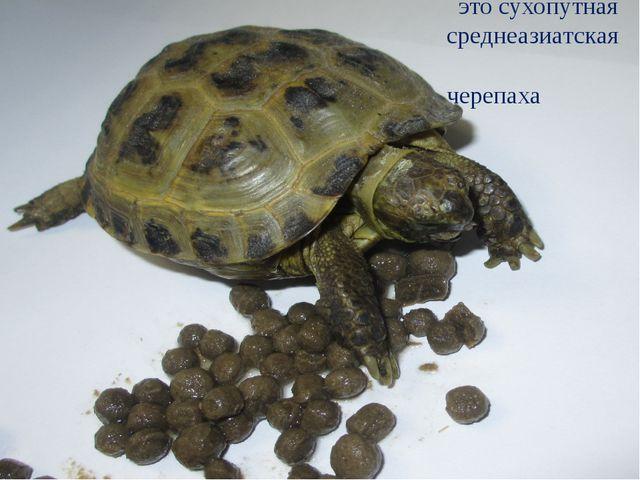 это сухопутная среднеазиатская черепаха