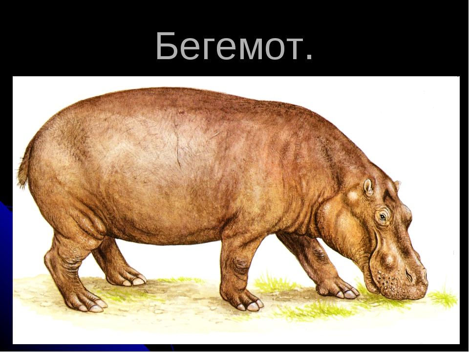 Бегемот.