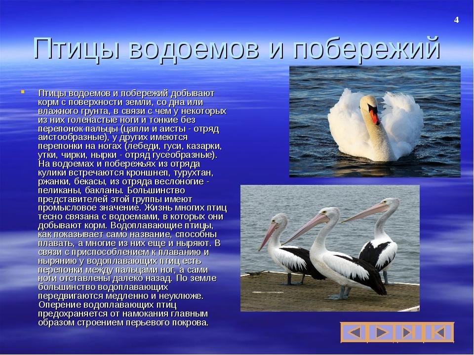 Презентация по биологии на тему Экологические группы птиц  слайда 4 Птицы водоемов и побережий Птицы водоемов и побережий добывают корм с поверхн