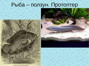 Рыба – ползун. Протоптер