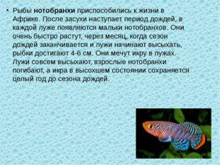 Рыбы нотобранхи приспособились к жизни в Африке. После засухи наступает перио