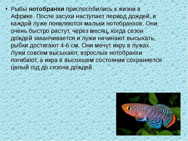 Рыбы нотобранхи приспособились к жизни в Африке. После засухи наступает перио...