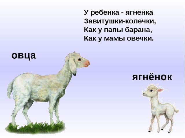 овца ягнёнок У ребенка - ягненка Завитушки-колечки, Как у папы барана, Как у...