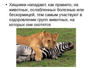 Хищники нападают, как правило, на животных, ослабленных болезнью или бескорми