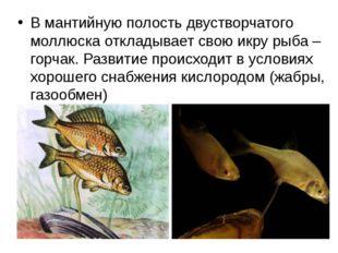 В мантийную полость двустворчатого моллюска откладывает свою икру рыба – горч