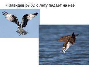 Завидев рыбу, с лету падает на нее