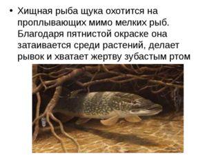 Хищная рыба щука охотится на проплывающих мимо мелких рыб. Благодаря пятнисто
