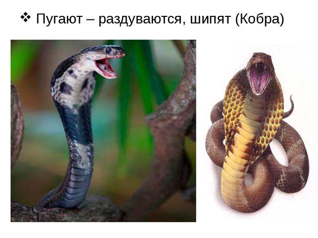 Пугают – раздуваются, шипят (Кобра)