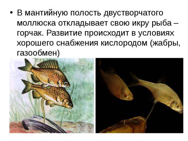 В мантийную полость двустворчатого моллюска откладывает свою икру рыба – горч...