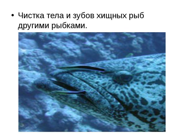 Чистка тела и зубов хищных рыб другими рыбками.
