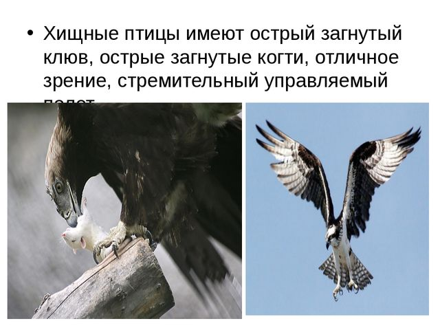 Хищные птицы имеют острый загнутый клюв, острые загнутые когти, отличное зрен...