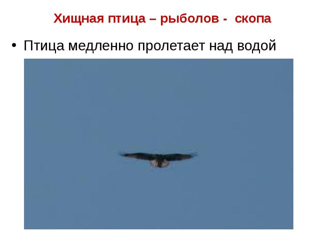 Хищная птица – рыболов - скопа Птица медленно пролетает над водой