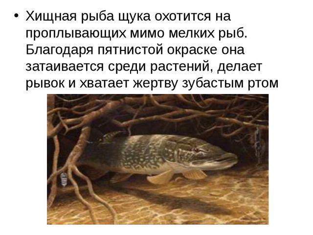 Хищная рыба щука охотится на проплывающих мимо мелких рыб. Благодаря пятнисто...