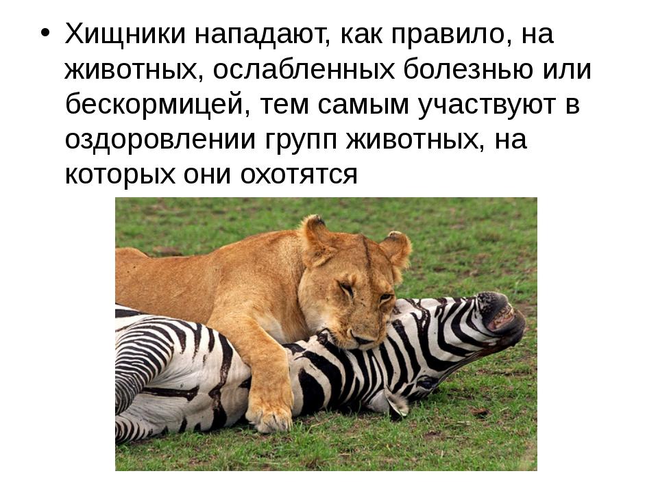 Хищники нападают, как правило, на животных, ослабленных болезнью или бескорми...