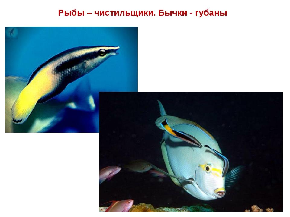 Рыбы – чистильщики. Бычки - губаны