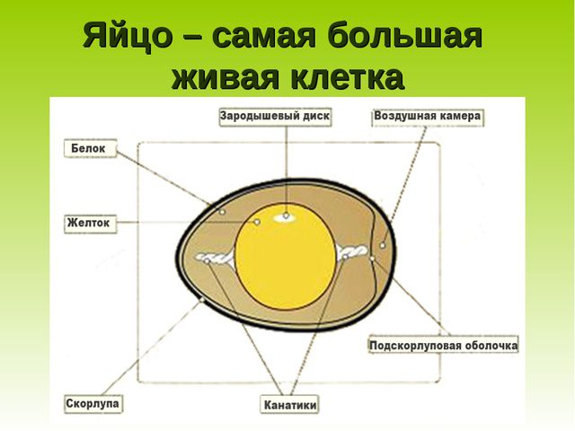 Яйцо – самая большая живая клетка