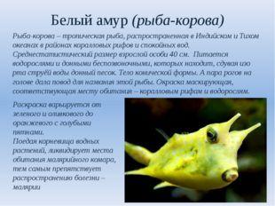 Белый амур (рыба-корова) Рыба-корова – тропическая рыба, распространенная в И