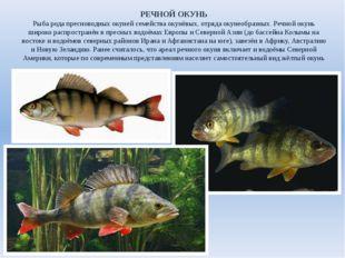 РЕЧНОЙ ОКУНЬ Рыба рода пресноводных окуней семейства окунёвых, отряда окунеоб