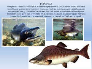 ГОРБУША Вид рыб из семейства лососёвых. В океане горбуша имеет светло-синий о