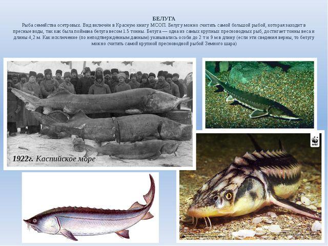БЕЛУГА Рыба семейства осетровых. Вид включён в Красную книгу МСОП. Белугу мож...