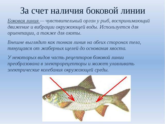 За счет наличия боковой линии Боковая линия — чувствительный орган у рыб, вос...