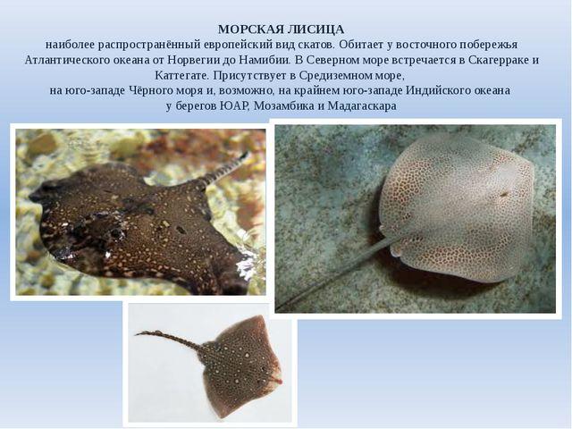 МОРСКАЯ ЛИСИЦА наиболее распространённый европейский вид скатов. Обитает у во...