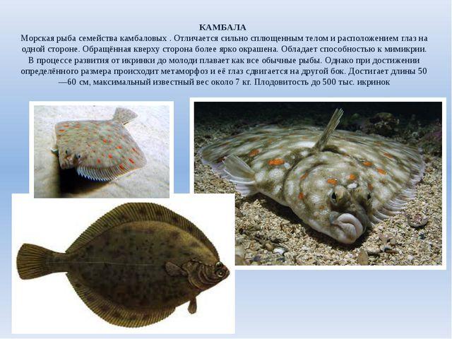 КАМБАЛА Морская рыба семейства камбаловых . Отличается сильно сплющенным тело...