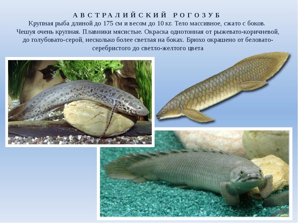 АВСТРАЛИЙСКИЙ РОГОЗУБ Крупная рыба длиной до 175см и весом до 10кг. Тело ма...