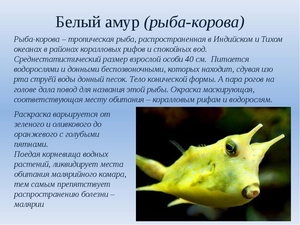 Белый амур (рыба-корова) Рыба-корова – тропическая рыба, распространенная в И...