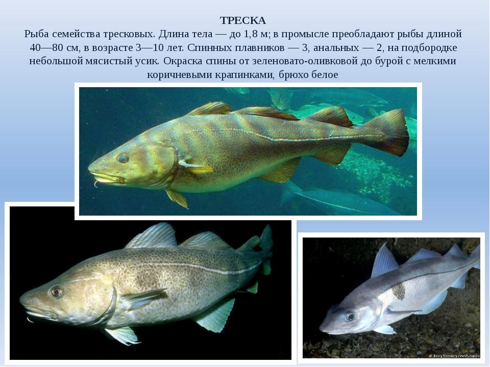 ТРЕСКА Рыба семейства тресковых. Длина тела— до 1,8м; в промысле преобладаю...