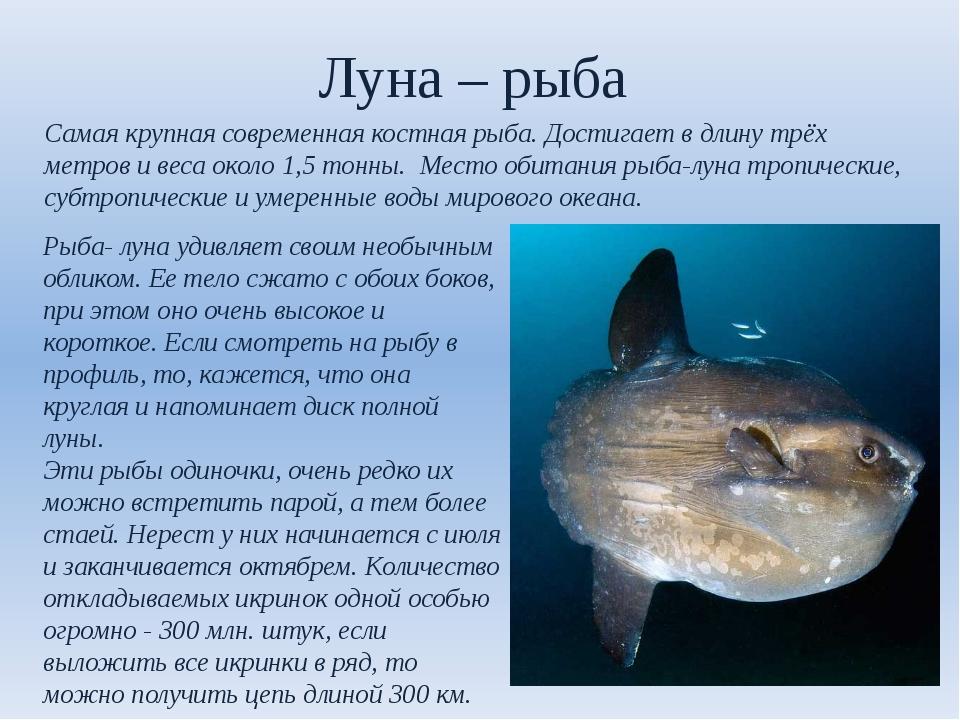 Луна – рыба Самая крупная современная костная рыба. Достигает в длину трёх ме...