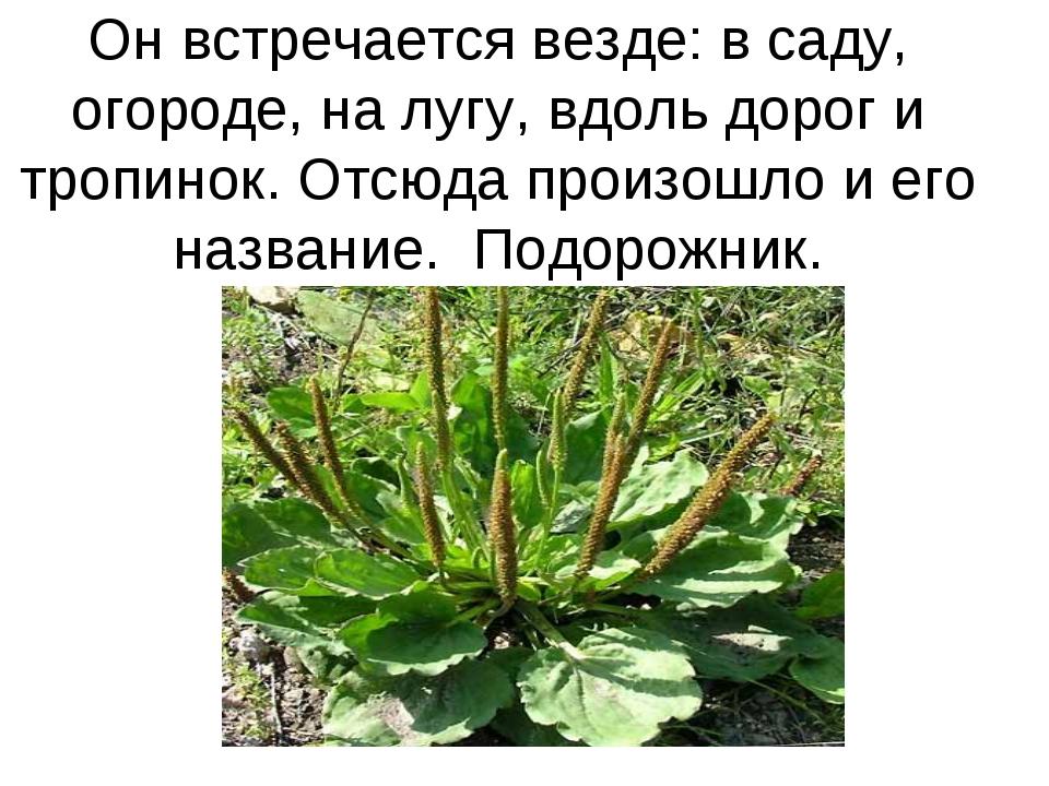 Он встречается везде: в саду, огороде, на лугу, вдоль дорог и тропинок. Отсюд...